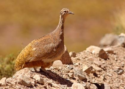 Photo: Puna Tinamou Tinamotis pentlandii - JI Areta